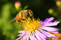 Free Bee And Flower Royalty Free Stock Photography - 6490217
