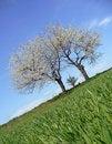 Free Cherry Trees Stock Image - 6490831