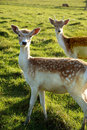Free Two Deers Royalty Free Stock Image - 6495056