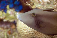 Free Bridled Triggerfish (sufflamen Fraenatus) Stock Photo - 6491020