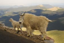 Mountain Goat Momma Royalty Free Stock Images