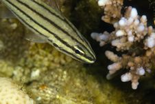 Free Fiveline Cardinalfish (cheilodipterus Quiquelineat Royalty Free Stock Images - 6491549