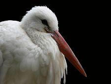 Stork On Black Background Stock Photo
