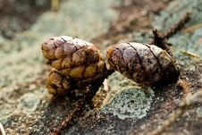 Free Pine Cones Royalty Free Stock Photography - 6492727