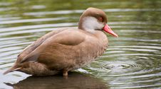 Duck, Brown Royalty Free Stock Photos