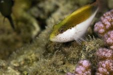 Freckled Hawkfish (paracirrhites Forsteri) Stock Photography