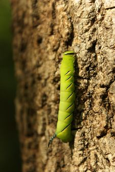 Green Caterpillar Royalty Free Stock Photography