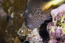 Freckled Hawkfish (paracirrhites Forsteri) Royalty Free Stock Photo