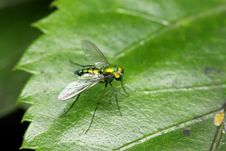 Free Long Legged Fly Stock Photo - 6494420