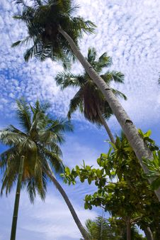 Free Coconut Tree Royalty Free Stock Photo - 6494525