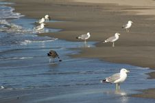 Free Sea Gulls Royalty Free Stock Photo - 6494565