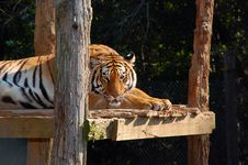 Free Bengal Tiger 3 Royalty Free Stock Photos - 6494638