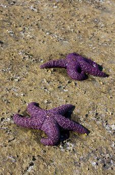 Two Purple Starfish Royalty Free Stock Photo