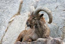 Free Bighorn Ram Stock Photos - 6495253