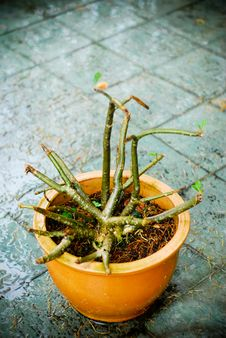 Free Leafless Potted Plant Royalty Free Stock Photography - 6495307