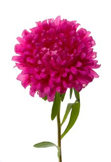 Free Pink Aster Stock Photography - 6495692