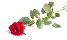 Free Red Rose Royalty Free Stock Photos - 6496658