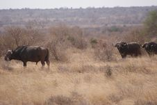 Free African Buffalos Royalty Free Stock Photography - 6497227