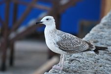 Free A Sea-gull Royalty Free Stock Photo - 6497355