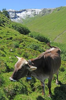 Free Grazing Cow Stock Photography - 6499712