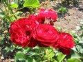 Free Red Rose Royalty Free Stock Photos - 654498