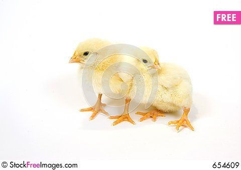 A pair of baby chick on white background 4 Stock Photo