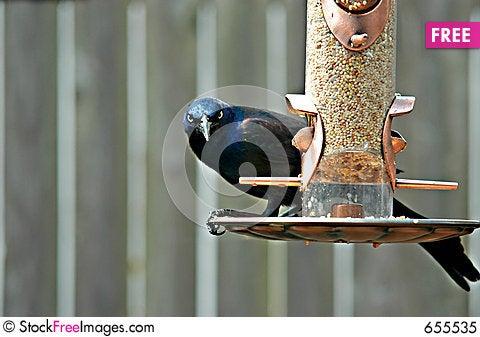 Free Grackle Bird Royalty Free Stock Photo - 655535