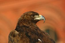 Portrait Of An Eagle Stock Photo
