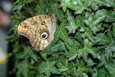 Free Butterfly-owl  (caligo Eurilochus) On Leaf Royalty Free Stock Images - 650759
