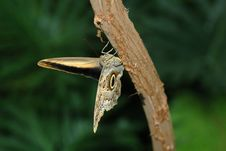 Free Butterfly-owl  (caligo Eurilochus) On Tree Stock Photography - 650782