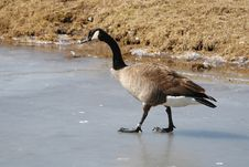 Free Goose On Ice Stock Images - 650784