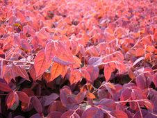 Red Leaves In Sunset Stock Photography