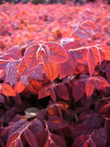 Free Red Leaves In Sunset,Central Composition(Close-up,vetical) Stock Image - 650911