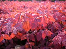 Free Red Leaves In Sunset Stock Photography - 650912