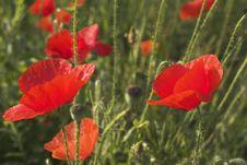 Free Poppies Stock Image - 652021