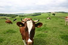 Free German Cow Royalty Free Stock Photos - 652118