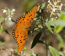 Free Gulf Fritillary Butterfly Royalty Free Stock Photo - 652135