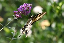 Free Swallowtail Butterfly Royalty Free Stock Photos - 652228