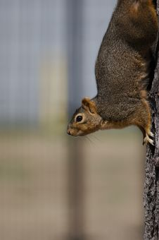 Free Squirrel On Tree Trunk Royalty Free Stock Photo - 652345