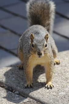 Free Squirrel Stock Photos - 652373