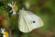Free Sulphur Butterfly Stock Image - 652491