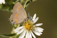 Free Red-Banded Hairstreak Butterfly Stock Photos - 652543