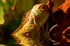 Free Iguana Royalty Free Stock Photos - 652928