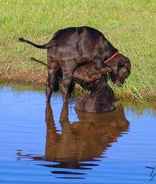 Free Buffalos Stock Image - 653451