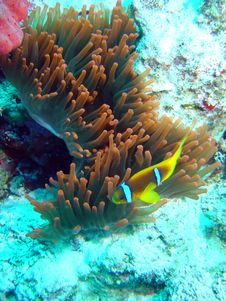 Free Anemonefish Royalty Free Stock Image - 653586
