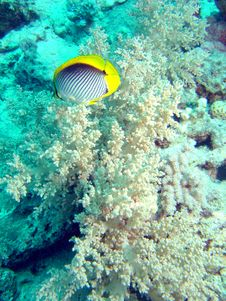Free Butterflyfish Stock Photos - 653593