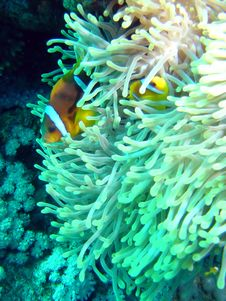 Free Anemonefish Stock Images - 653594