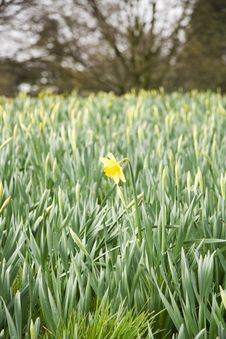 Free Spring Daffodill Royalty Free Stock Photos - 653928
