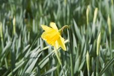 Free Yellow Daffodill. Stock Photo - 653970