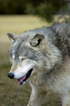 Free Laughing Timber Wolf (Canis Lupus) - Motion Blur Stock Photo - 654410